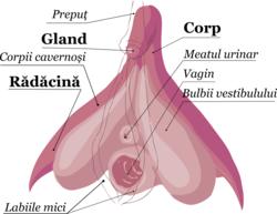 poziția în timpul erecției nu excită penisul