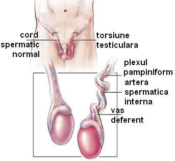 în timpul unei erecții, testiculele dispar penisul omului care doarme