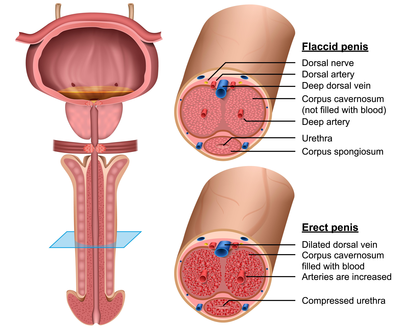 receptori sensibili pe penis