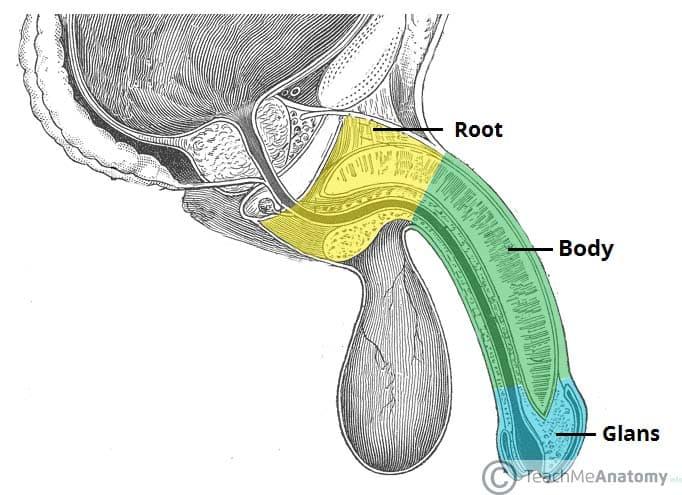 tendon în penis mușchiul penisului ciupit
