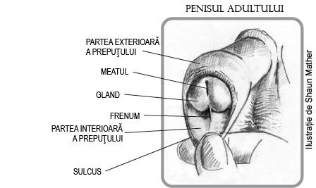 penisul este inflamat