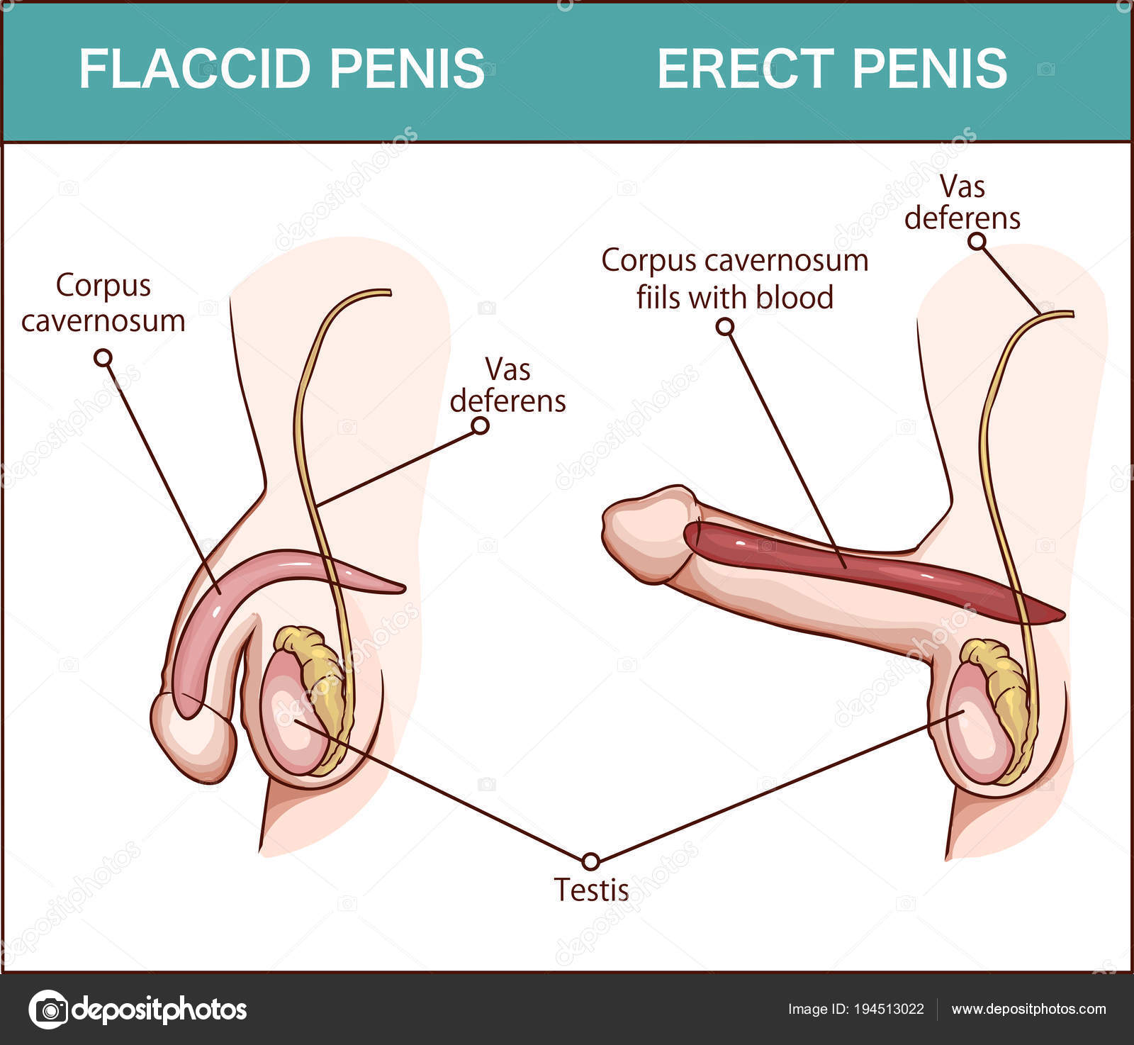 schema de erecție sexuală penis la telefon
