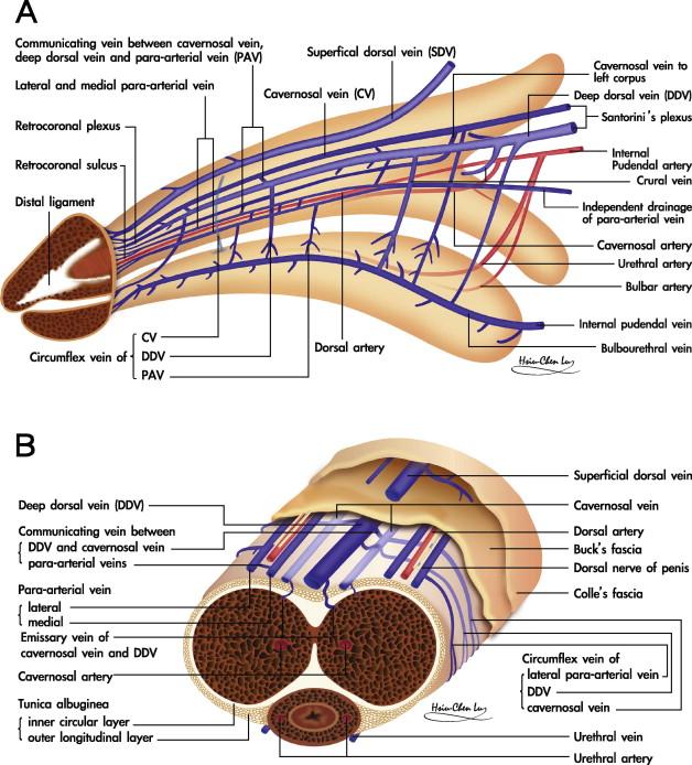 tendon în penis ce ajută la mărirea penisului