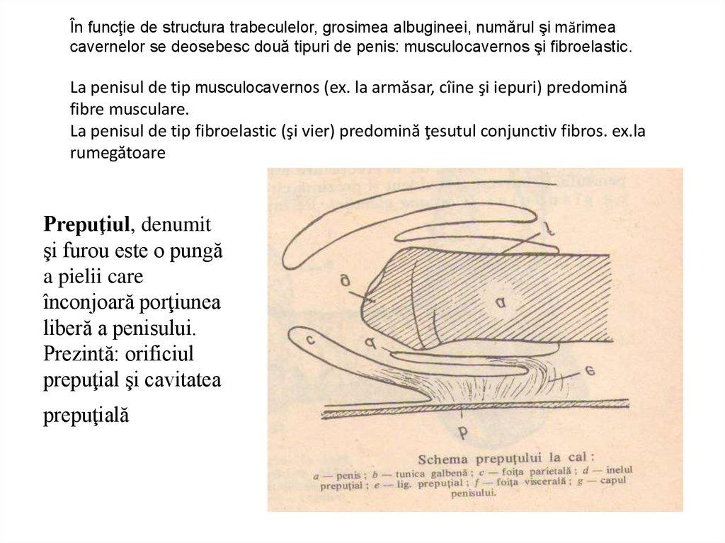 mărimea penisului armăsar