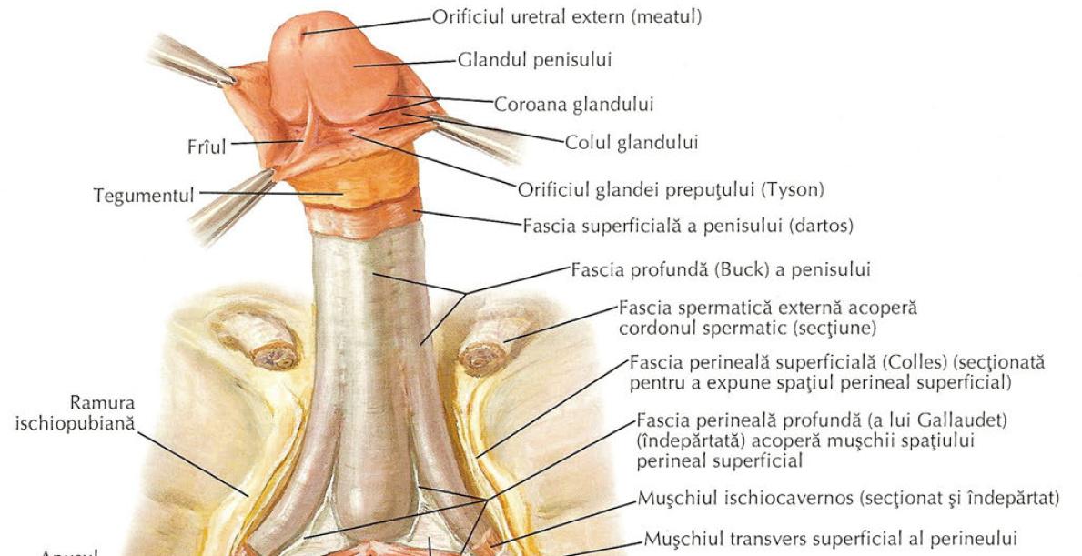 dimensiunea penisului masculin în erecție motive pentru lipsa unei erecții matinale