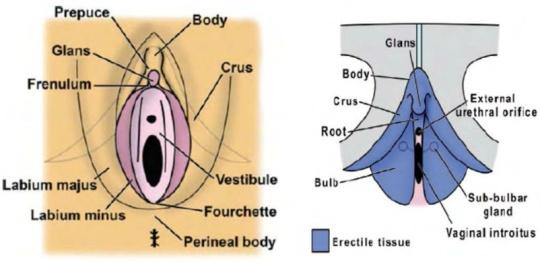 erecție frecventă din excitare