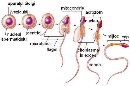 erecția sistemului reproducător erecție preliminară