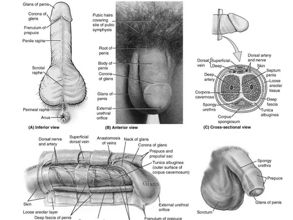 nutriție pentru a spori erecția