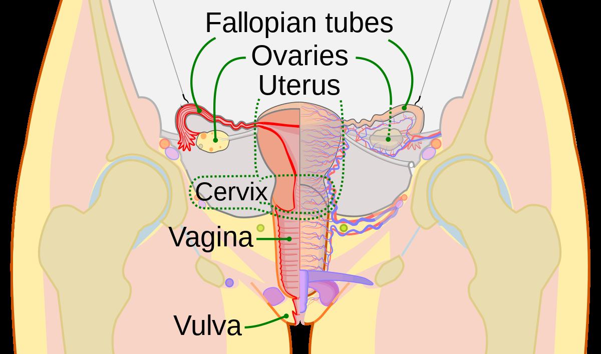 penis cu vulva cum se restabilește o erecție după abstinență
