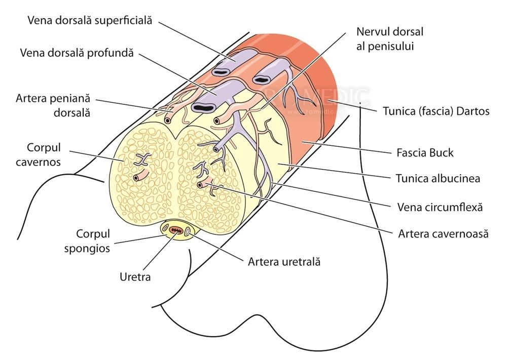 raportul dimensiunea penisului la vârstă penisul atârnat pe erecție