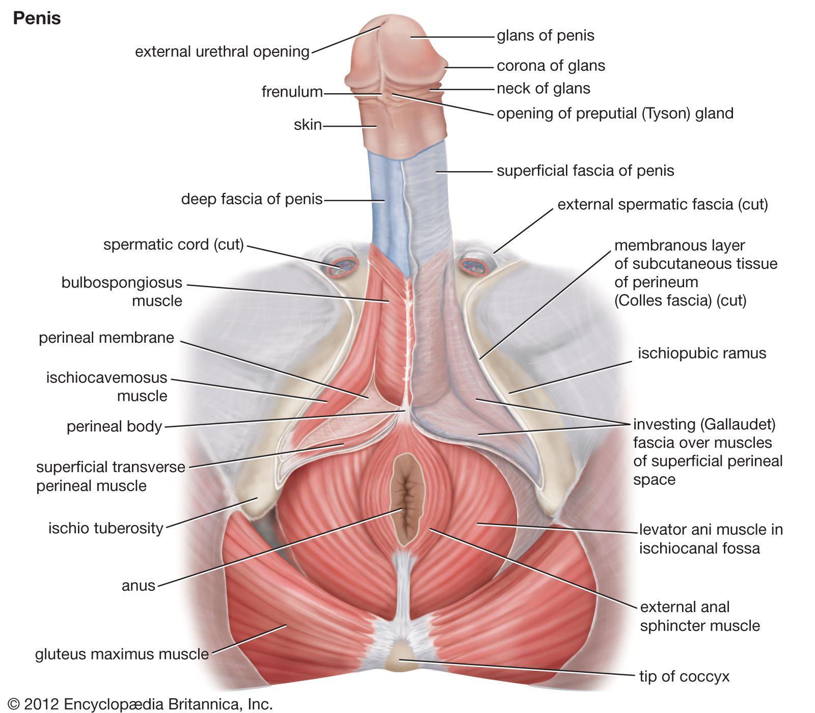 sul coronal pe penis