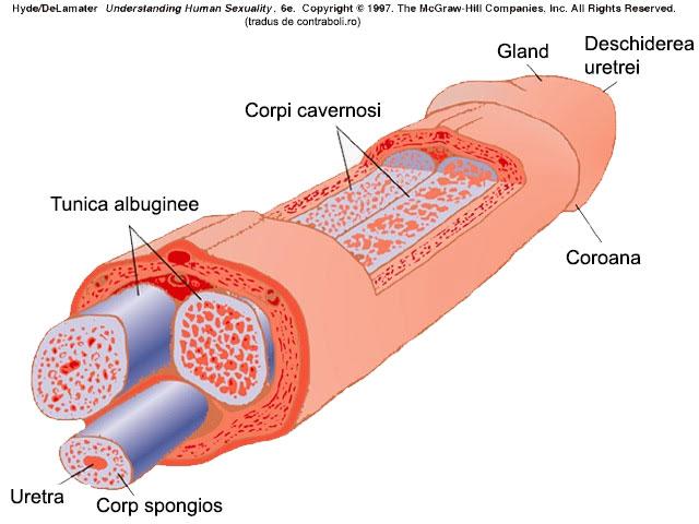 malformații congenitale ale penisului de ce există o erecție de dimineață